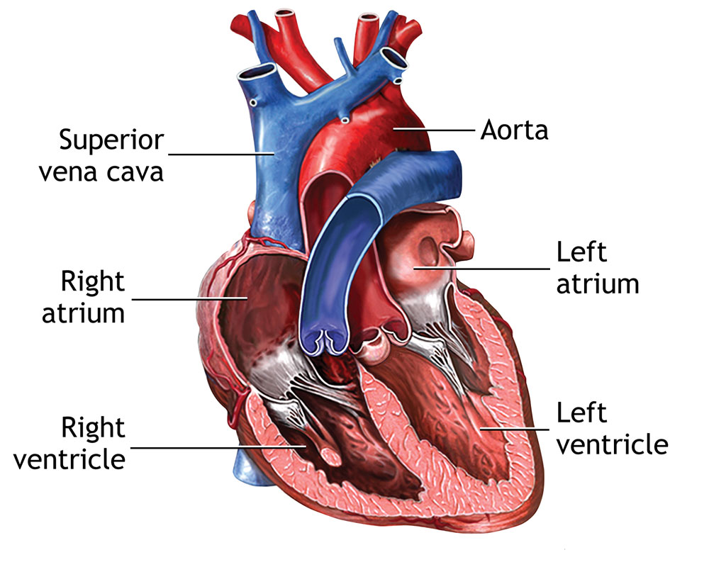 Cutaway view of the heart (anterior) | Covenant Health